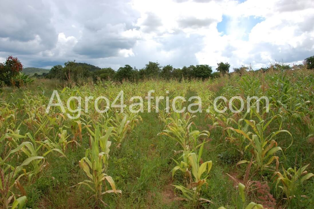 weed control/ weed infested maize farm