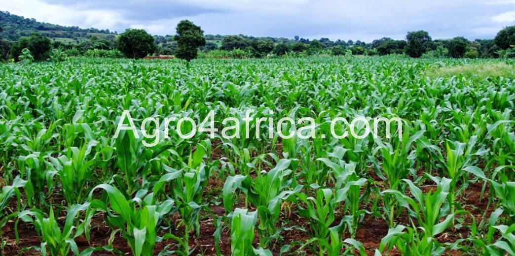 maize farmland