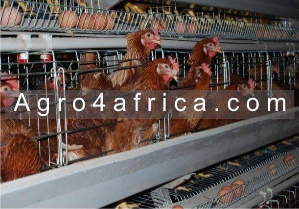 Keeping poultry in Battery Cage